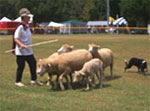 Herding sheep with border collies